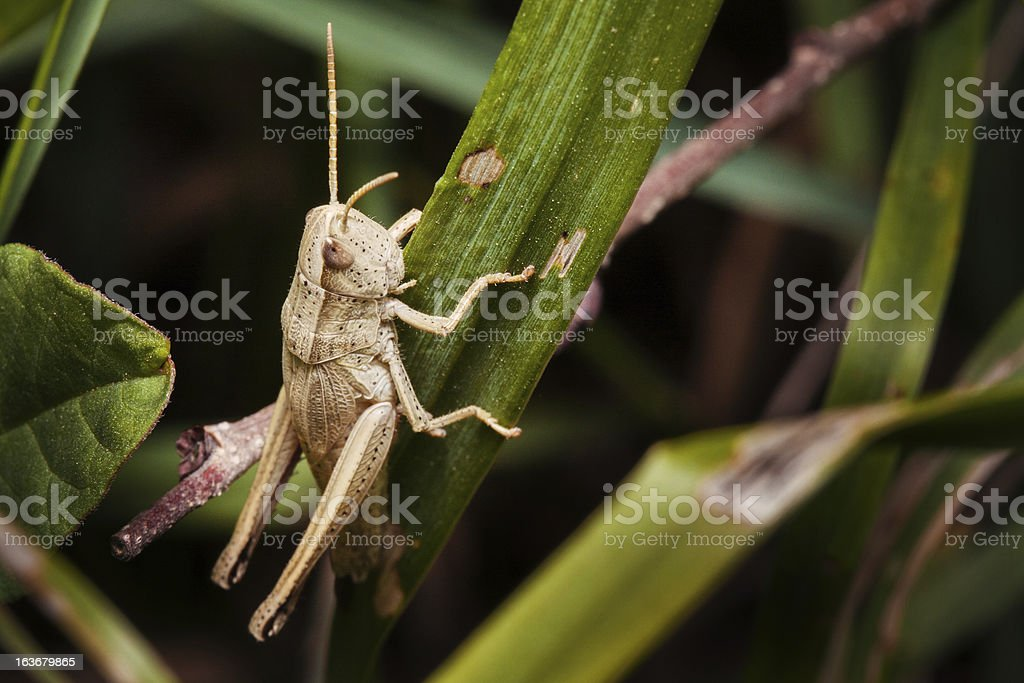 Grasshooper just before jumping. royalty-free stock photo