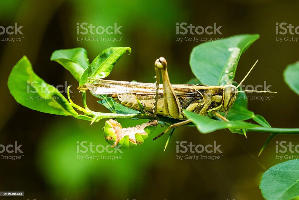 Grasshoper and larva stock photo