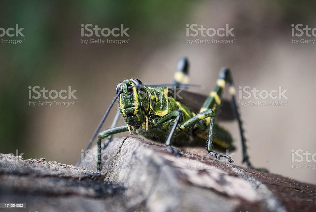 Grasshoper climbing wood log royalty-free stock photo