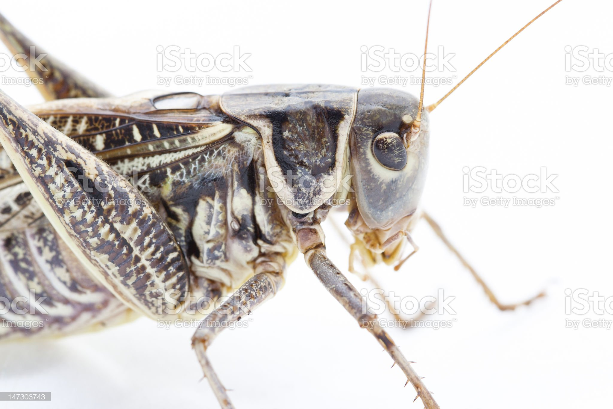 Grasshoper close-up royalty-free stock photo
