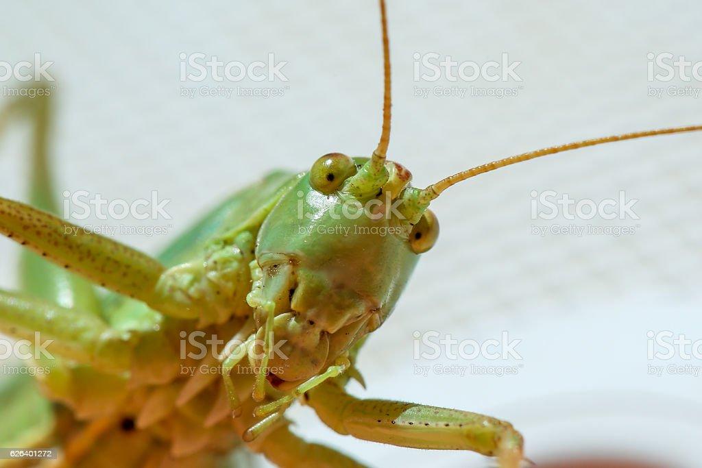 Grasshoper closeup stock photo