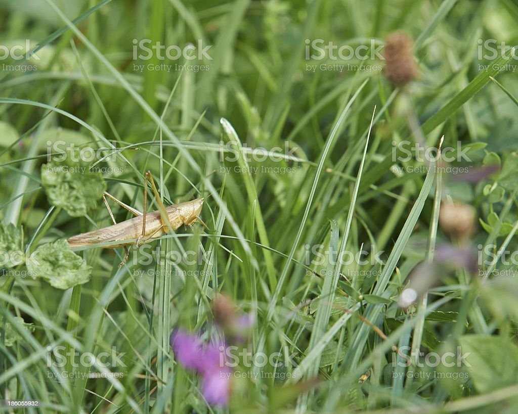 Grasshoper in a wild nature royalty-free stock photo