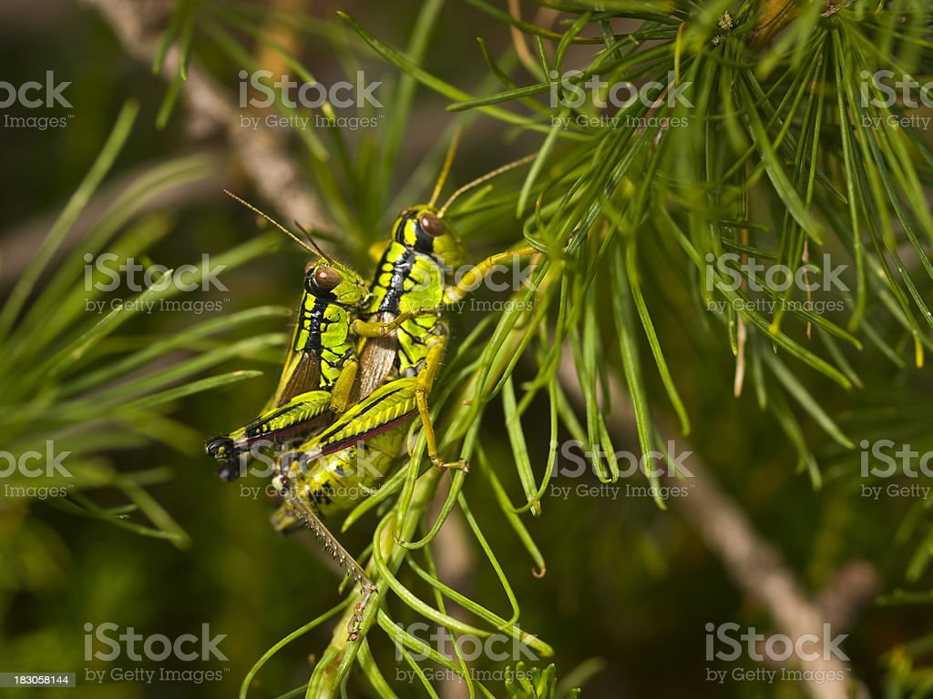 grasshopers in love royalty-free stock photo