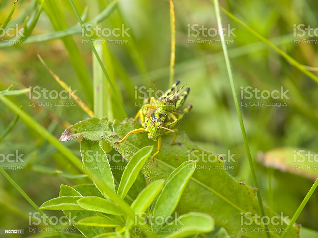 Grasshopers love royalty-free stock photo