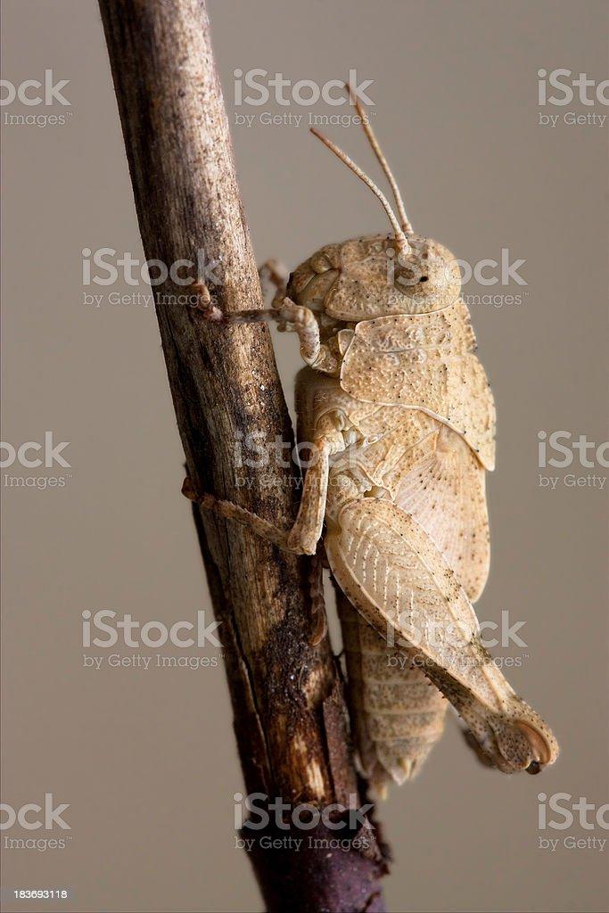 grasshopp royalty-free stock photo