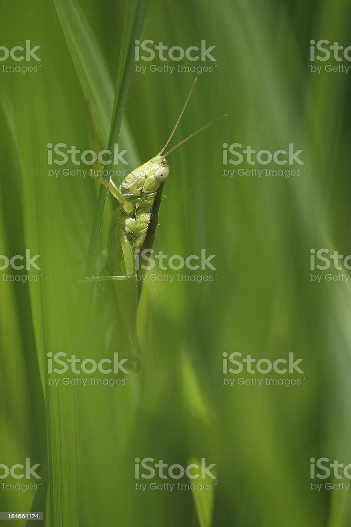 Grasshopper 01 royalty-free stock photo