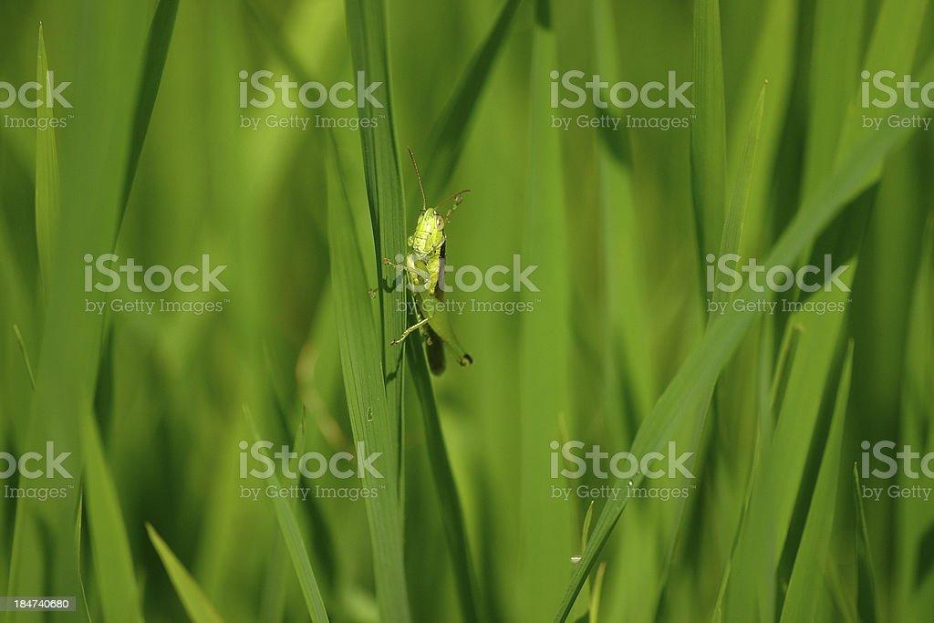 Grasshopper 03 royalty-free stock photo