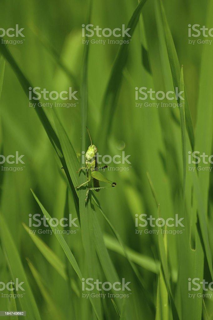 Grasshopper 04 royalty-free stock photo
