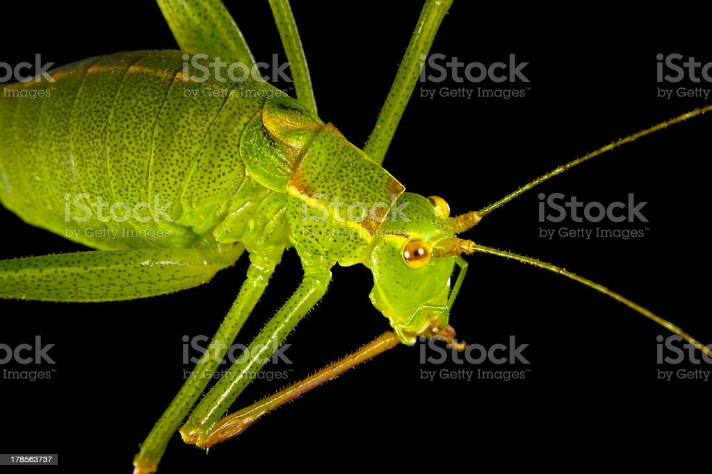 Grasshopper 2 royalty-free stock photo