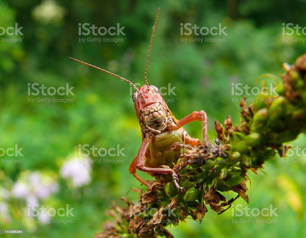 Grasshopper 5 royalty-free stock photo