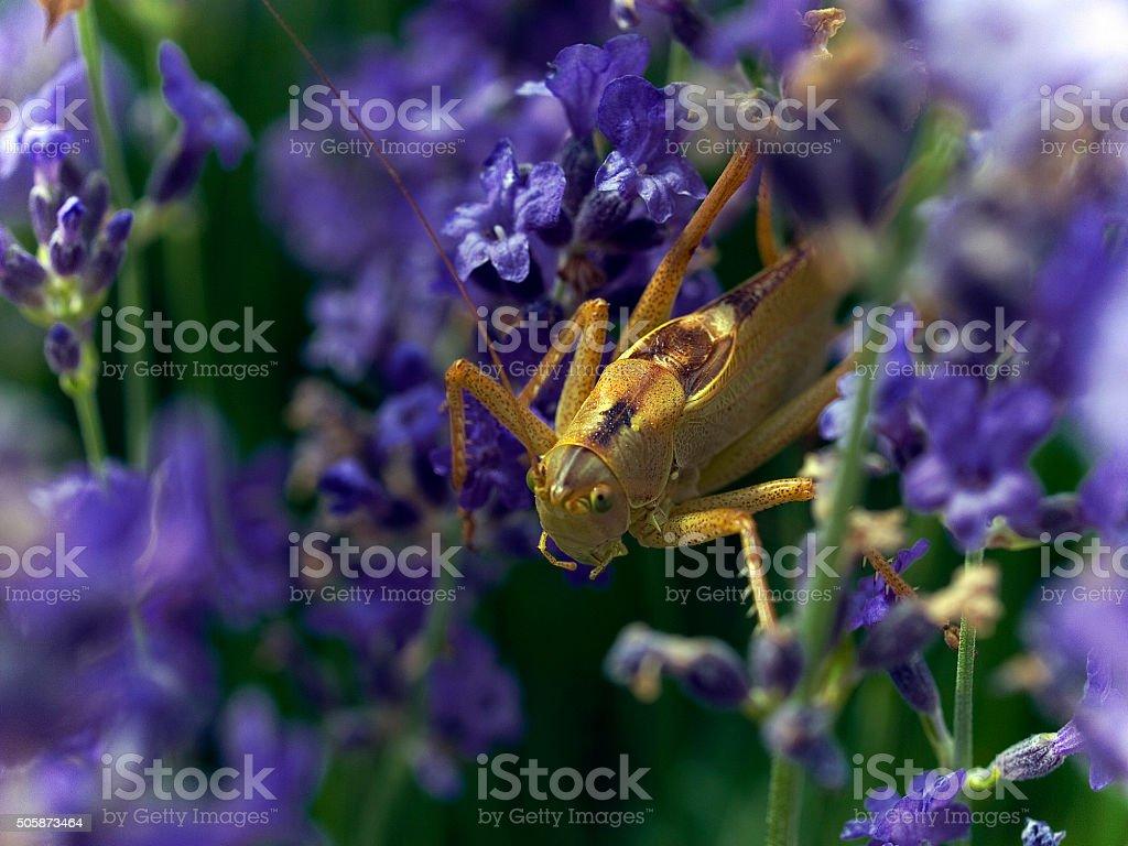Heuschrecke auf Lavendel Blumen Lizenzfreies stock-foto