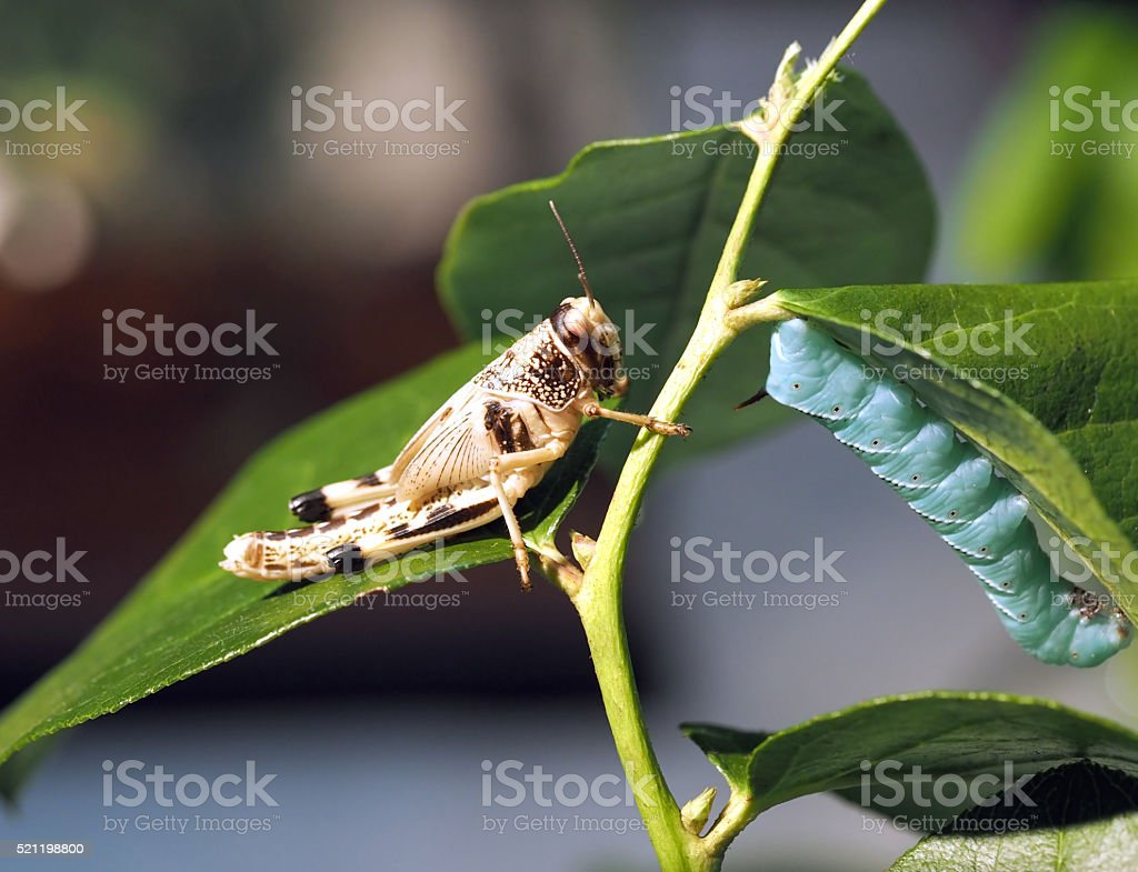Grasshopper and caterpillar are sitting on the branch closeup stock photo