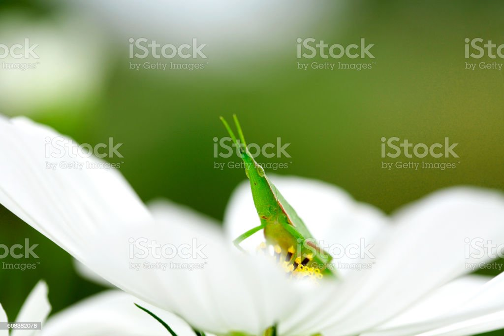 Grasshopper and Cosmos stock photo