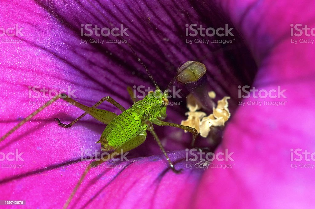 Grasshopper and flower royalty-free stock photo