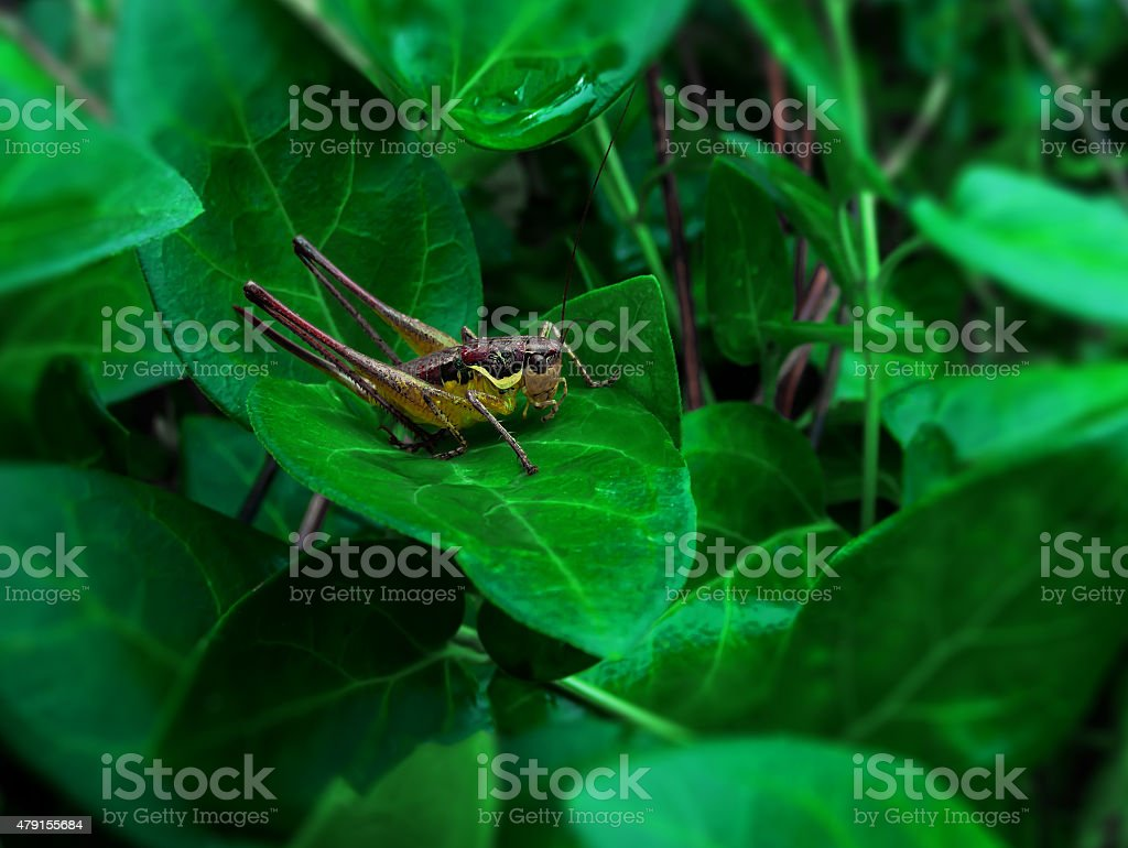 Grasshopper and green leaf royalty-free stock photo