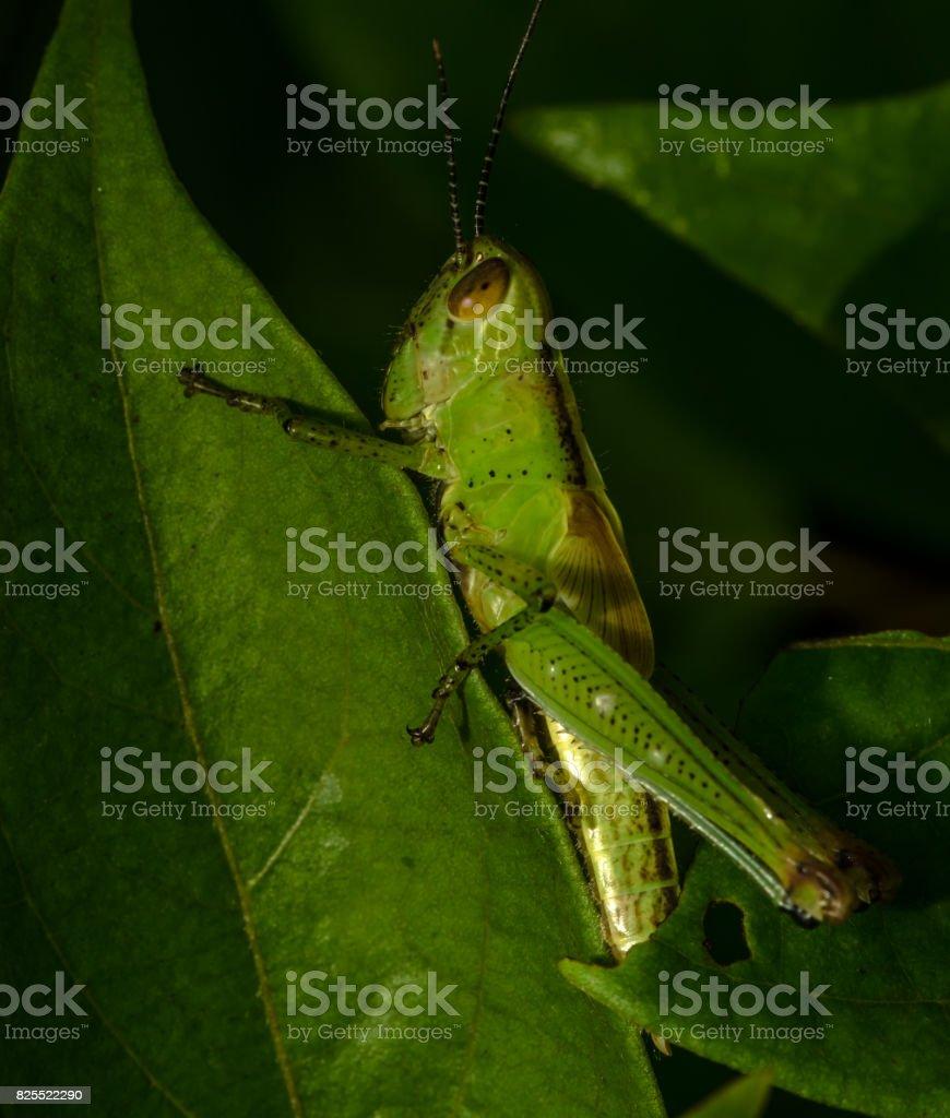Grasshopper at Nagla Block of SGNP, Mumbai stock photo