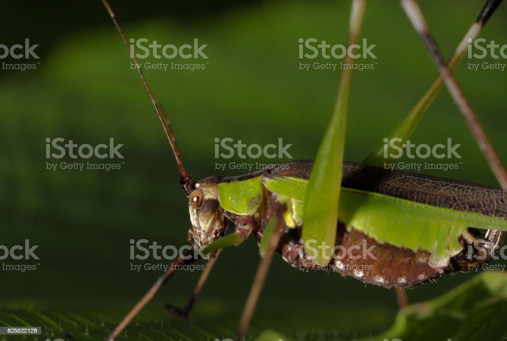 Grasshopper at Nagla Block stock photo