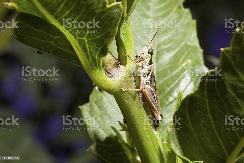 Grasshopper Bug royalty-free stock photo