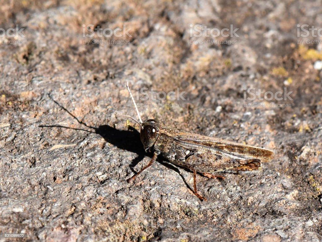 Grasshopper camouflage stock photo