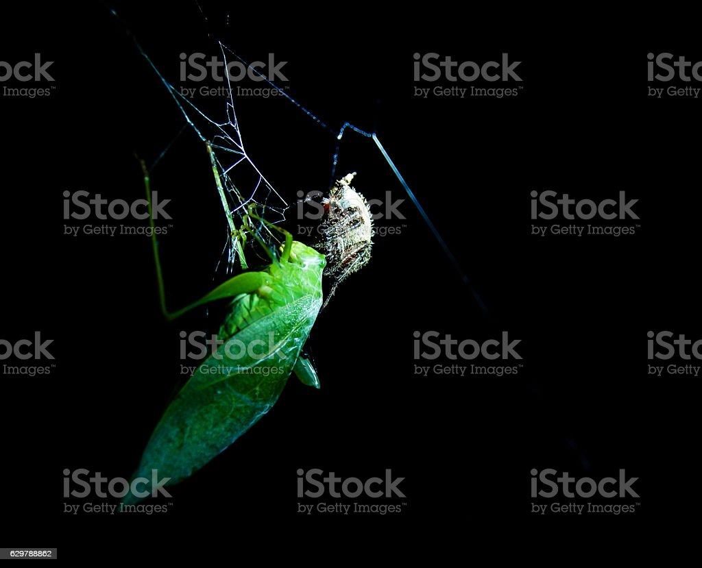 Grasshopper caught in a spiider web stock photo