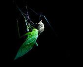 Grasshopper caught in a spiider web