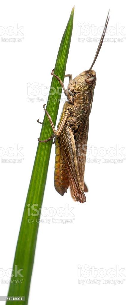 Grasshopper, Chorthippus montanus, on stem in front of white background royalty-free stock photo