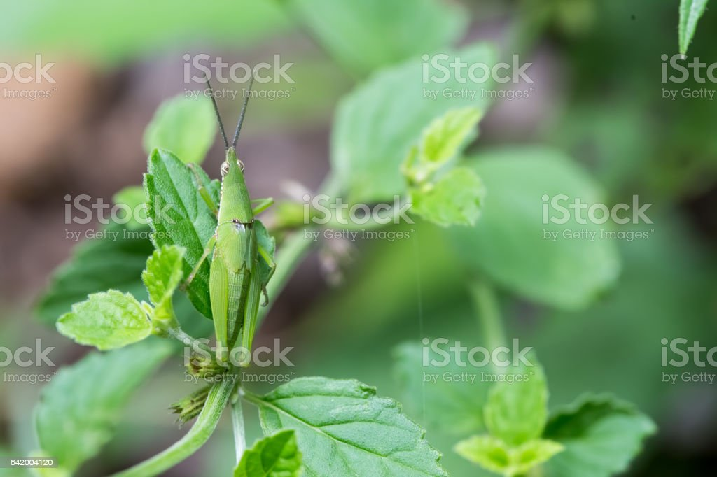 Grasshopper climbing on leaves in the woods. stock photo
