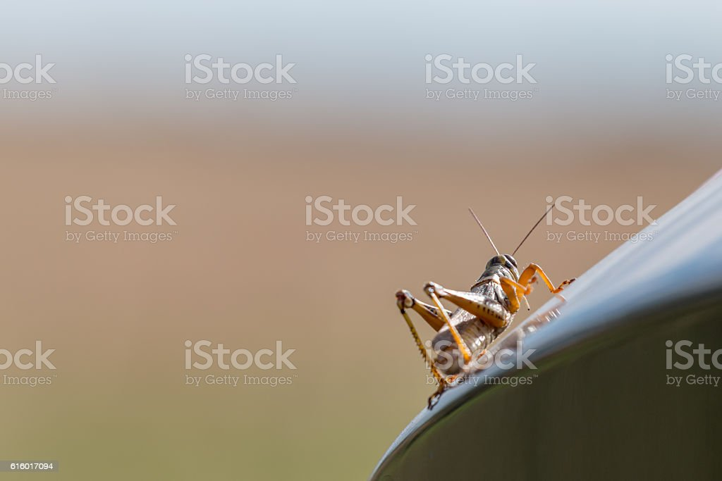Grasshopper climbing up black surface on a sunny day stock photo