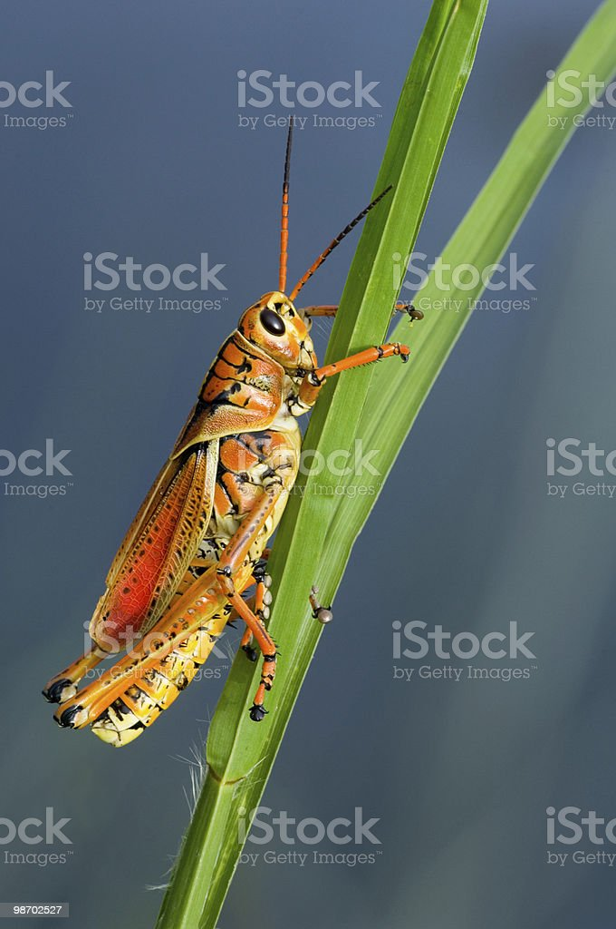 grasshopper clings to grass stalk royalty-free stock photo