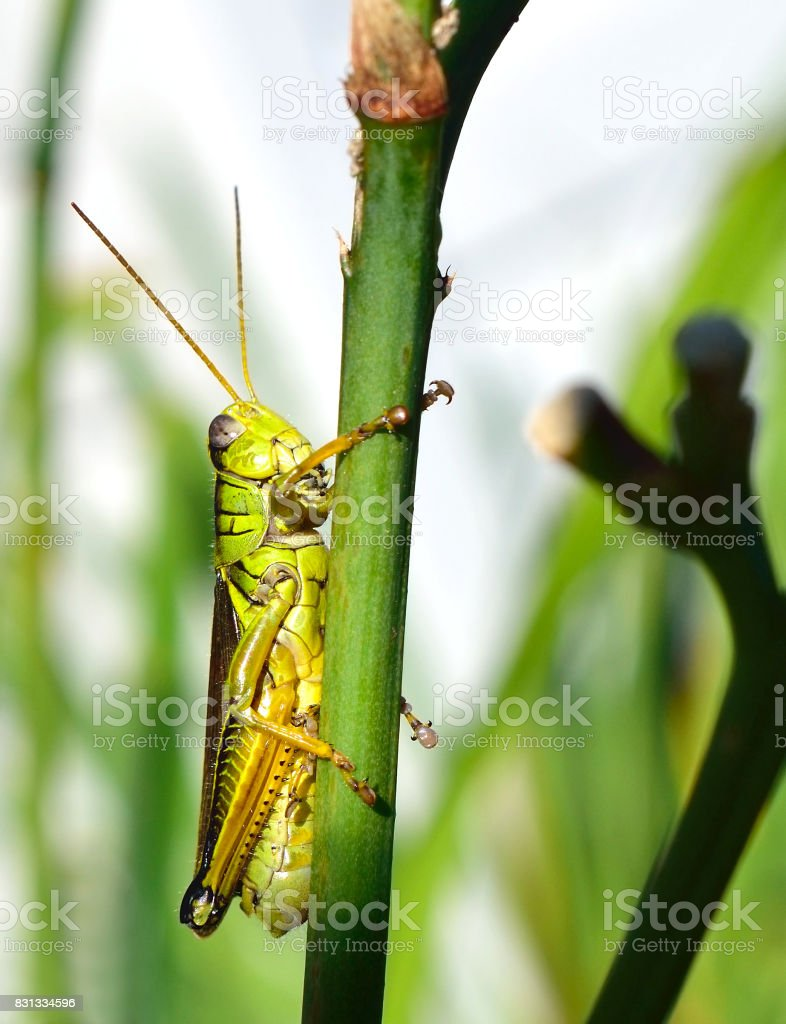 Grasshopper Close Up stock photo