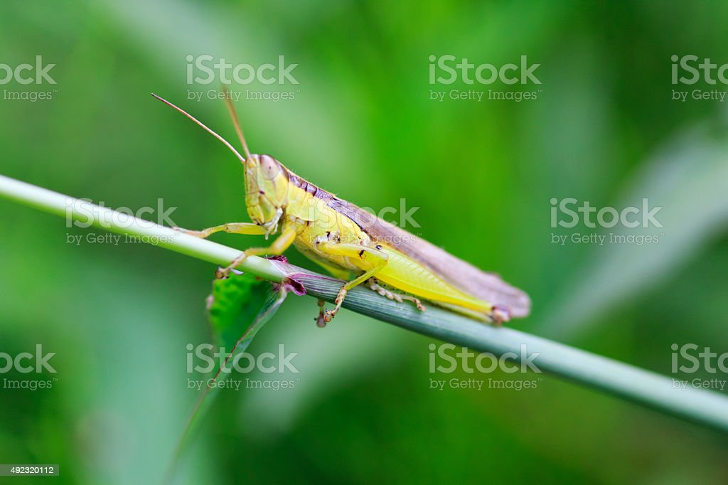 Grasshopper couple Breeding on the Green Leaf stock photo