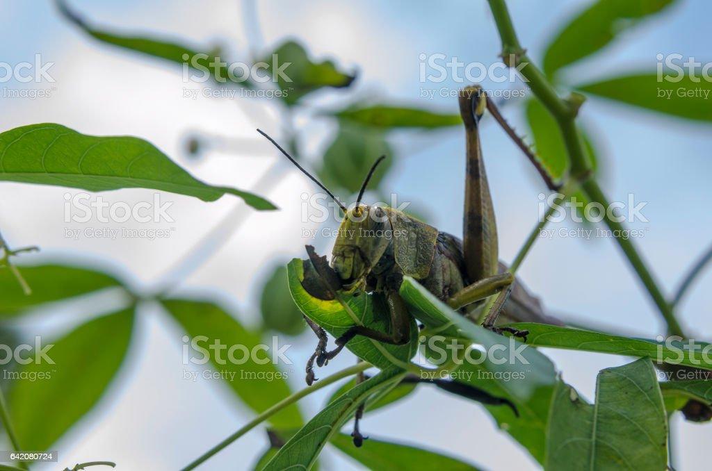 grasshopper eating stock photo