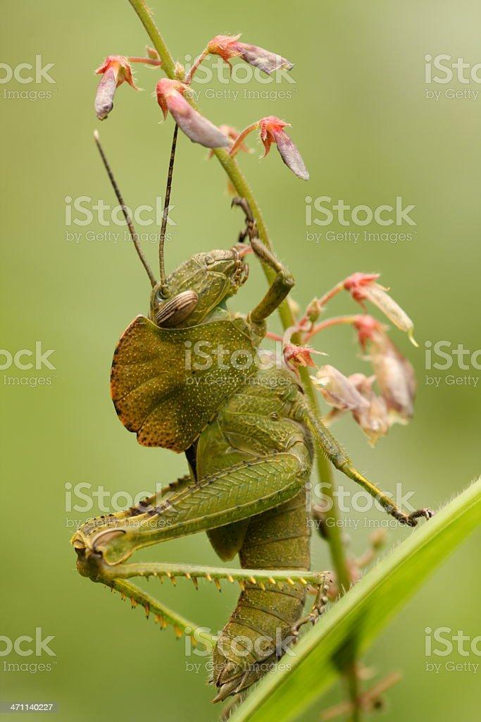 Grasshopper Eating Pink flower stock photo