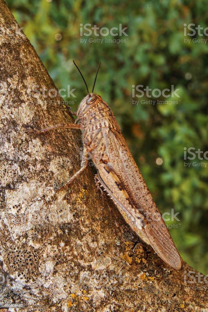 grasshopper, egyptian locust stock photo
