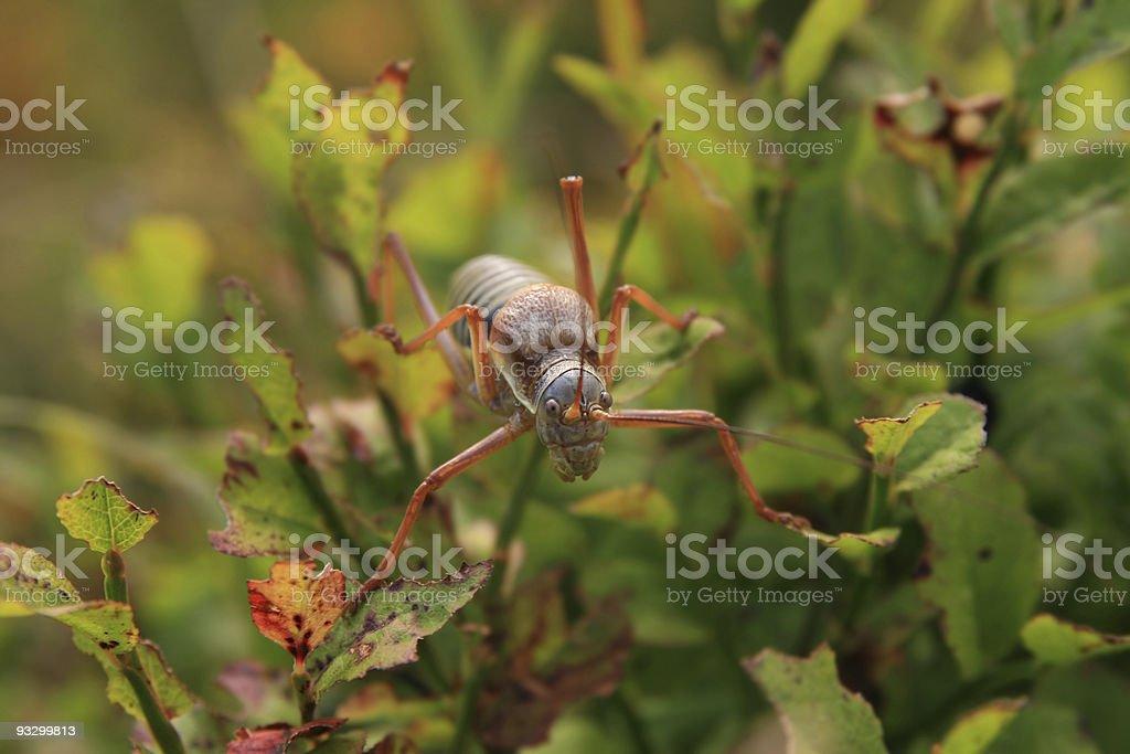 grasshopper ephippiger stock photo