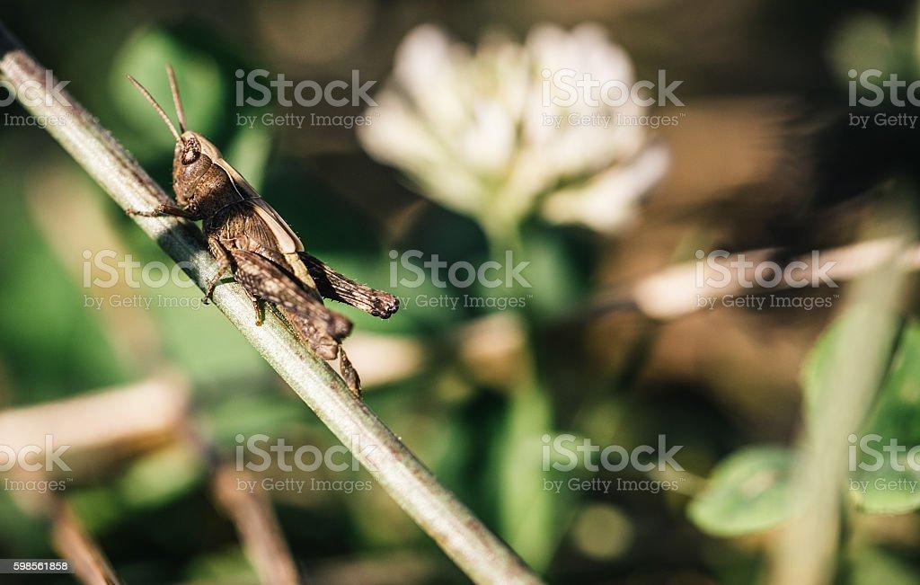 Grasshopper exstreme close up stock photo