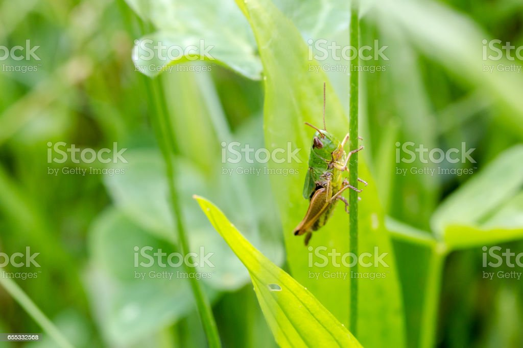 Grasshopper extreme close-up portrait in natural environment stock photo