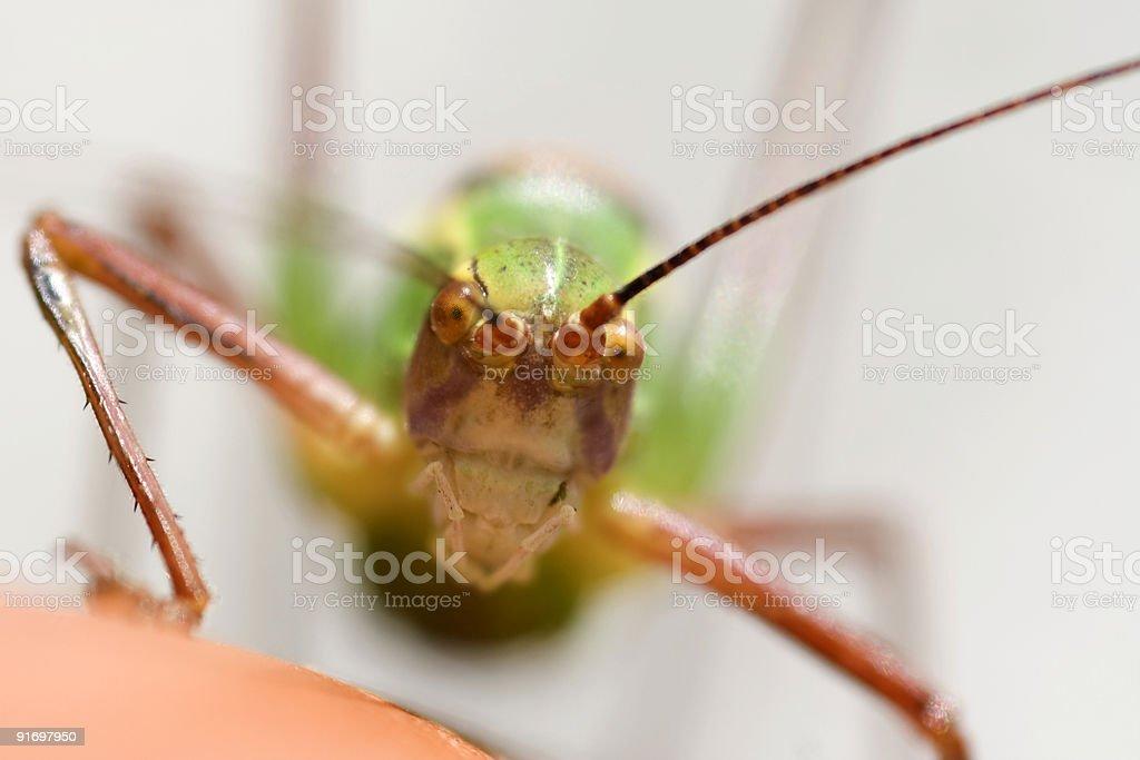 Grasshopper Face, Grash?pfer royalty-free stock photo