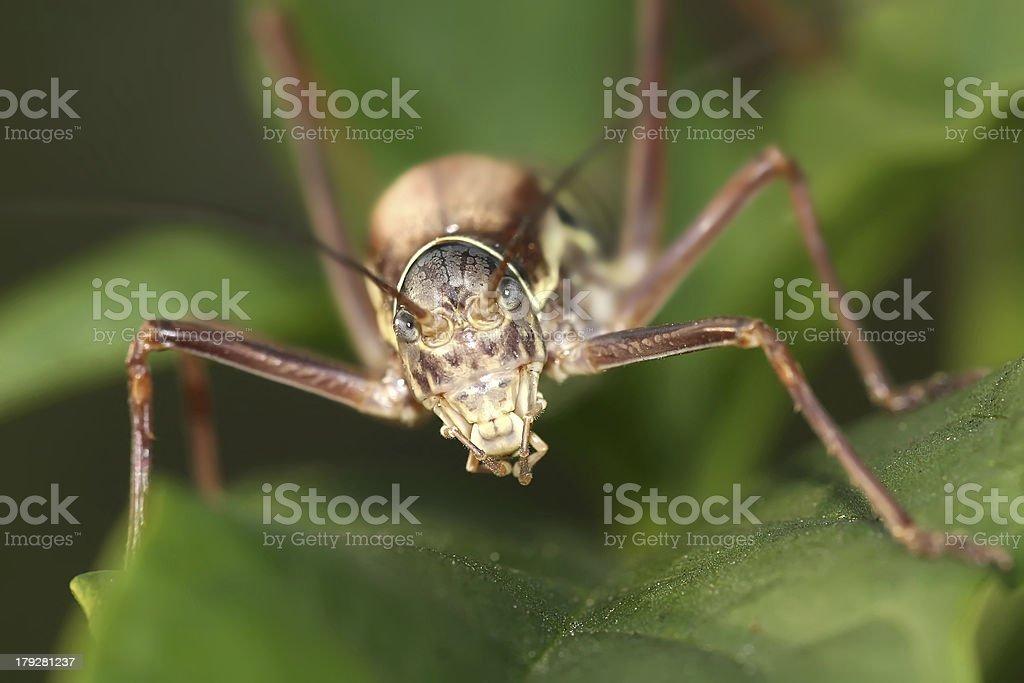grasshopper facing camera stock photo
