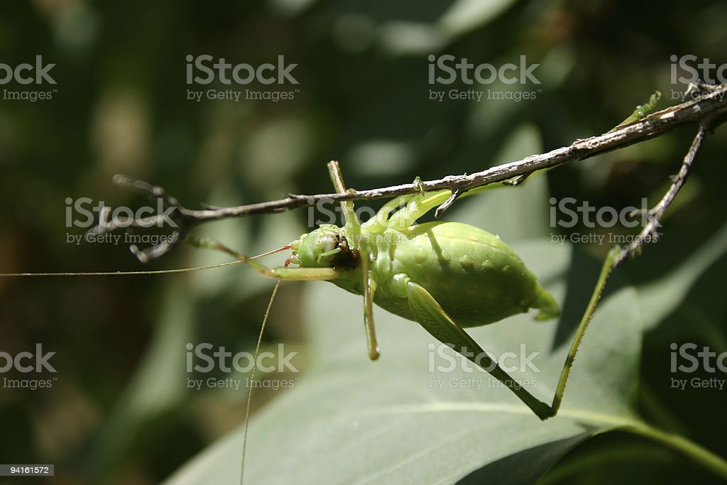 grasshopper filled with eggs royalty-free stock photo