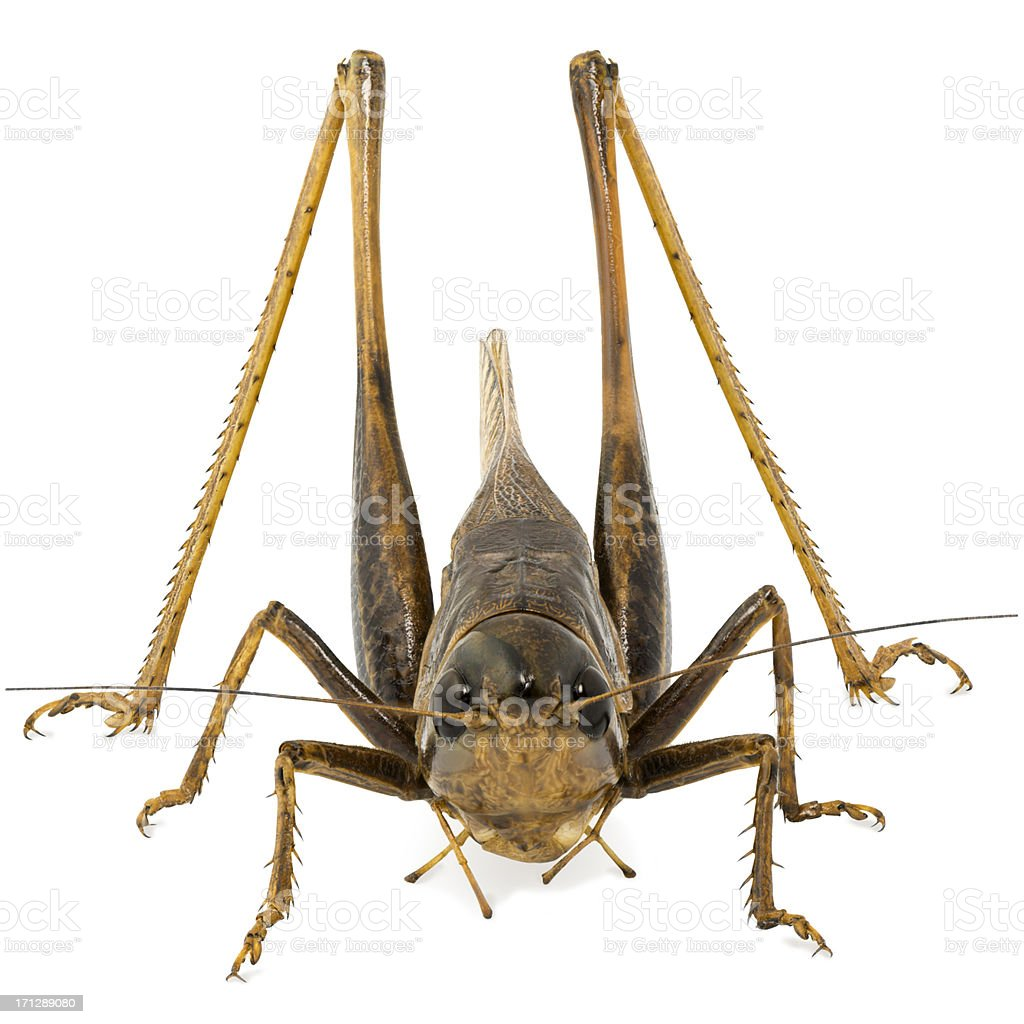 Grasshopper Focus Stacked stock photo