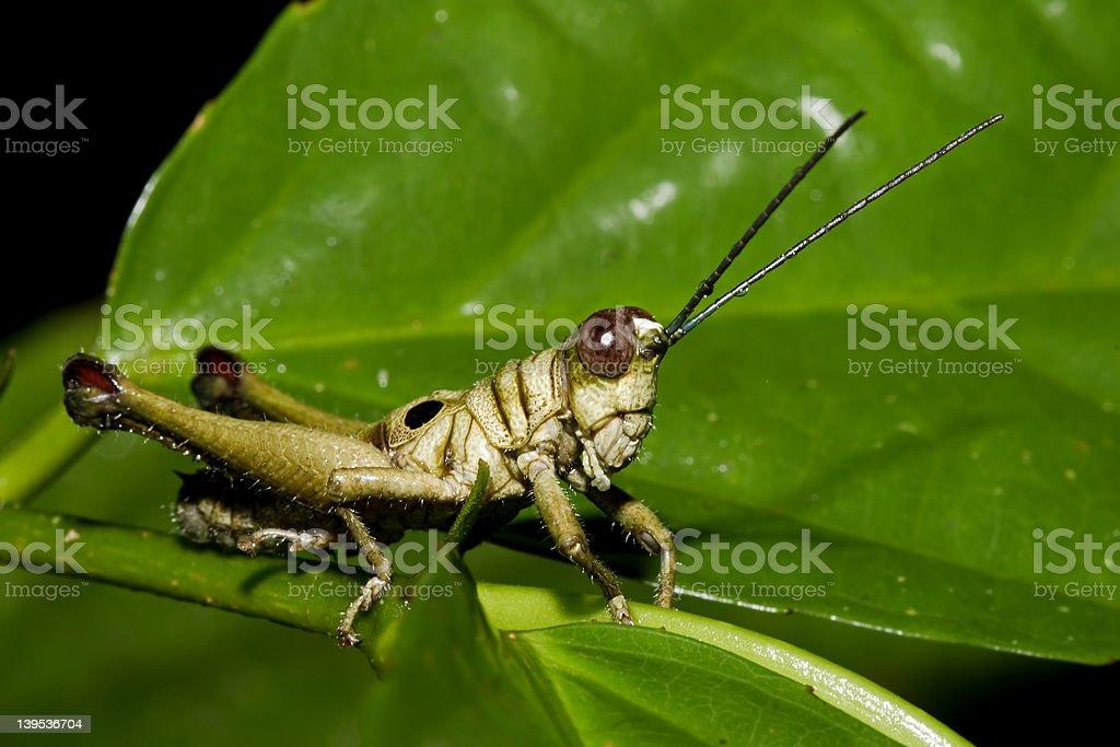 Grasshopper from Ecuador stock photo