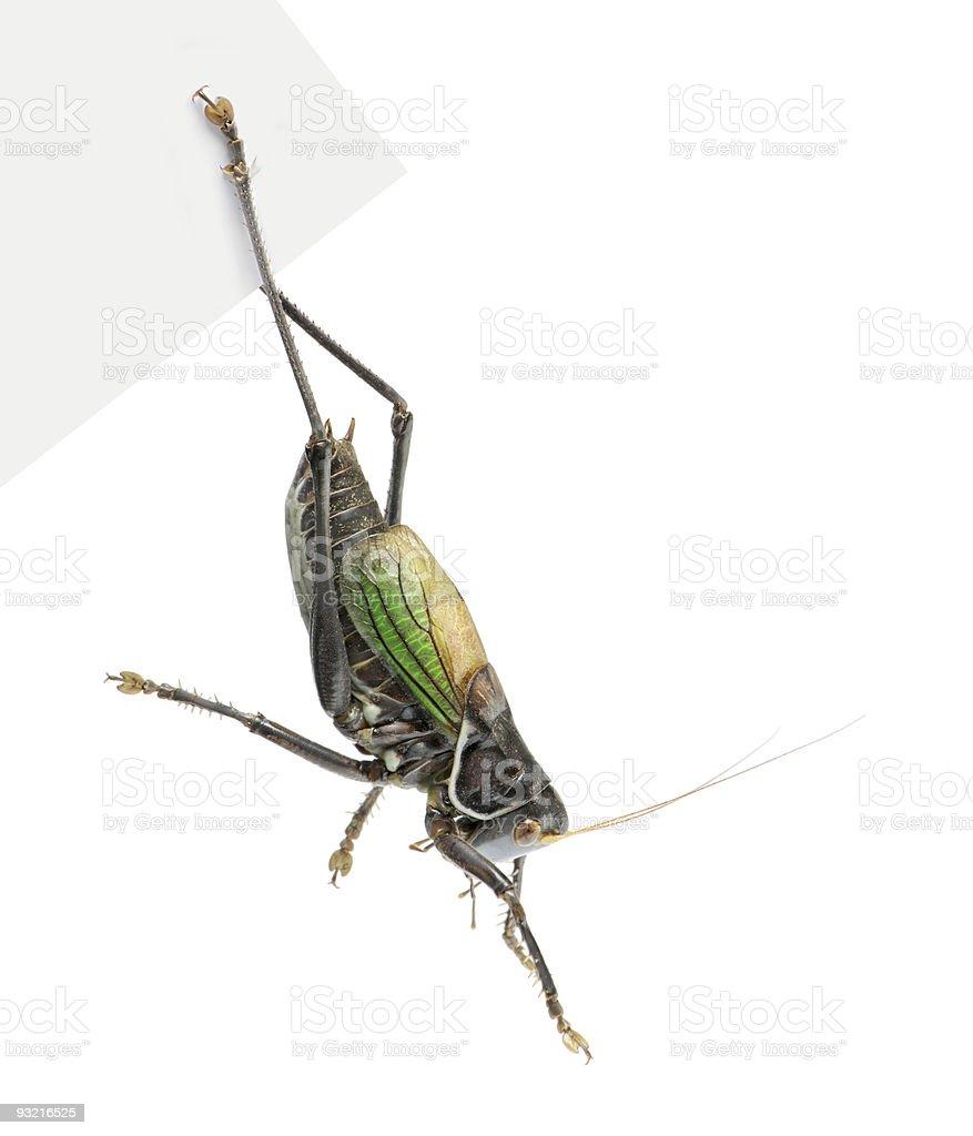 Grasshopper - Gampsocleis gratiosa royalty-free stock photo