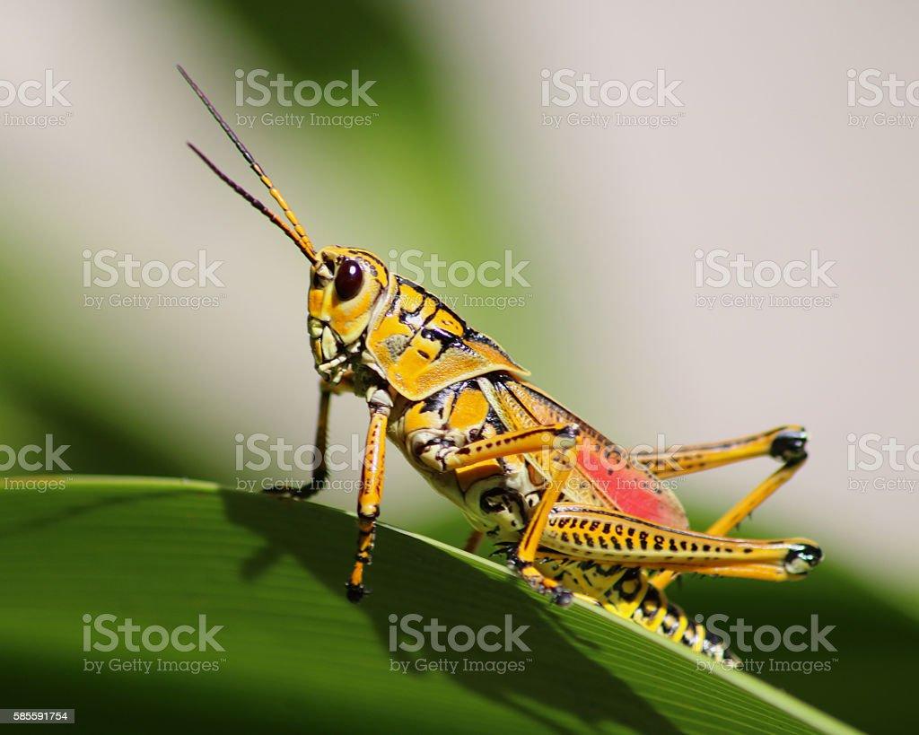 Grasshopper giant Florida Lubber photo libre de droits