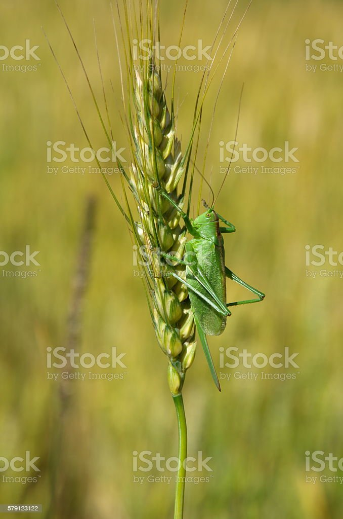 Grasshopper green on the spikelet of rye stock photo