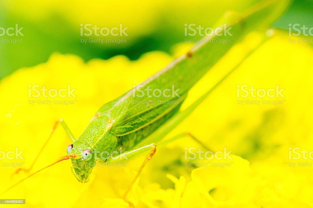 Grasshopper green on yellow flower stock photo