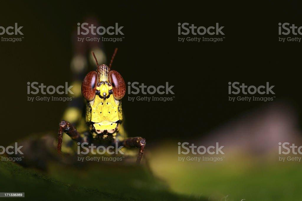 Grasshopper head close-up royalty-free stock photo