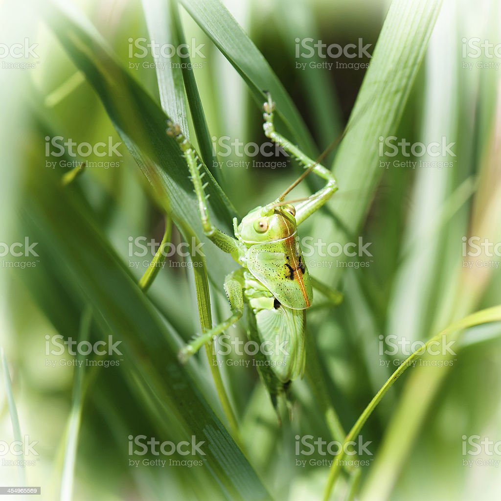 Grasshopper hiding in the grass royalty-free stock photo