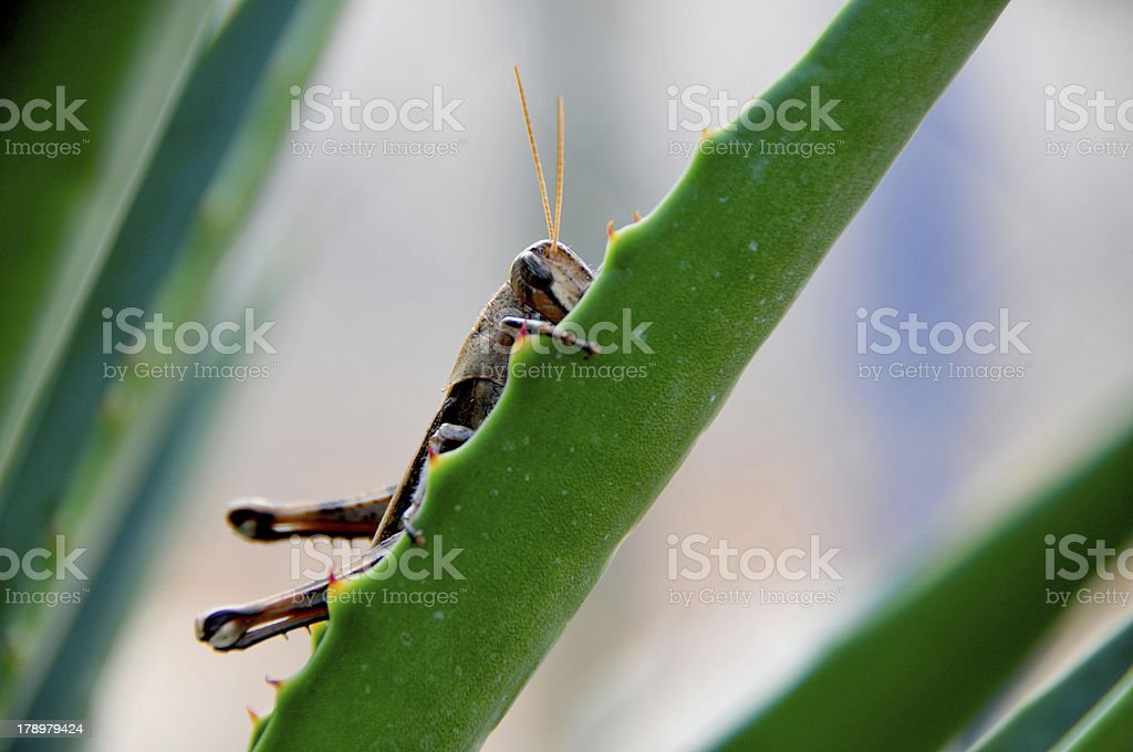 Grasshopper hiding in the leaves royalty-free stock photo