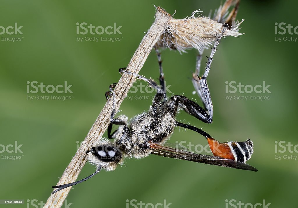 Grasshopper hunter.Prionyx kirwii royalty-free stock photo